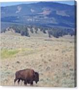 Bison Trail Canvas Print