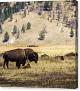 Bison With Calf Canvas Print