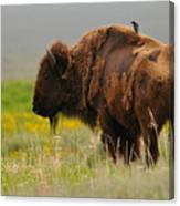 Bison With Cowbird On Back Canvas Print