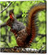Black Abert's Squirrel - Half And Half Canvas Print