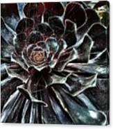 Black Aeonium Canvas Print