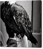 Black And White Bald Eagle Canvas Print