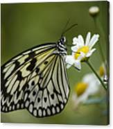 Black And White Butterfly On A Daisy Canvas Print