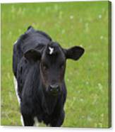 Black And White Calf Standing In A Field Canvas Print