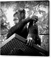 Black And White Chimpanzee Canvas Print