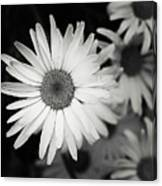 Black And White Daisy 1 Canvas Print