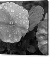 Black And White Dewy Pansy 1 Canvas Print