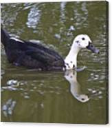 Black And White Duck Reflections Canvas Print