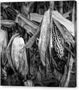 Black And White Ear Of Corn On The Stalk Canvas Print