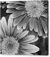 Black And White Gerber Daisies 2 Canvas Print