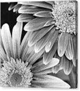 Black And White Gerber Daisies 3 Canvas Print