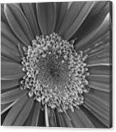 Black And White Gerber Daisy 4 Canvas Print
