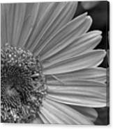 Black And White Gerber Daisy 5 Canvas Print