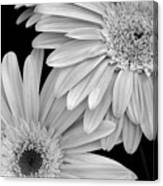 Black And White Gerbera Daisies 1 Canvas Print