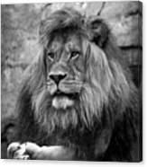 Black And White Lion Pose Canvas Print