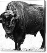 Black And White Of A Massive Bison Bull In The Snow  Canvas Print