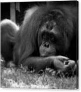 Black And White Orangutang Canvas Print