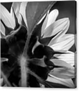 Black And White Sinflower 6 Canvas Print