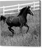 Black And White Steed Canvas Print