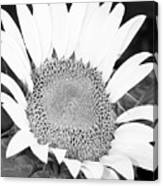Black And White Sunflower Face Canvas Print