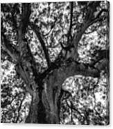 Black And White Tree 4 Canvas Print