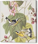 Black And Yellow Warblers Canvas Print