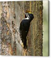 Black-backed Woodpecker Canvas Print