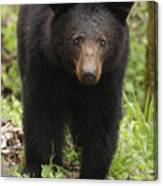 Black Bear At Cades Cove Canvas Print