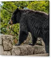 Black Bear Boar Taking In The Sights Canvas Print