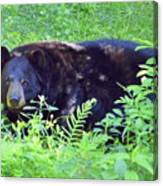 A Florida Black Bear Canvas Print