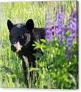 Black Bear Hiding Behind Lupines Canvas Print