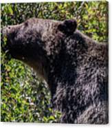 Black Bear In Glacier Eating Canvas Print