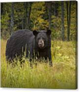 Black Bear In The Grass Canvas Print