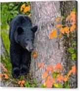 Black Bear In Tree Canvas Print