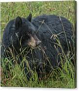 Black Bear Sow Canvas Print