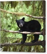Black Bear Ursus Americanus Cub In Tree Canvas Print