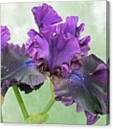 Black Bearded Iris Canvas Print