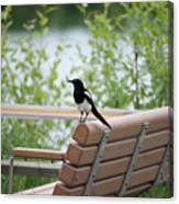 Black-billed Magpie Pica Hudsonia Canvas Print