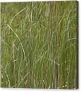 Black Bird In Cattails Canvas Print