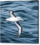 Black-browed Albatross Gliding Over Deep Blue Waves Canvas Print