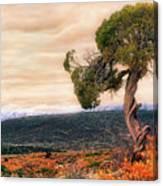 Black Canyon Juniper - Colorado - Autumn Canvas Print