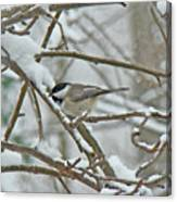 Black Capped Chickadee - Poecile Atricapillus Canvas Print