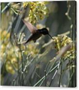 Black Chinned Hummingbird In Flight Canvas Print