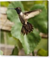 Black-chinned Hummingbird Canvas Print
