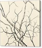 Black Crested Titmouse Canvas Print