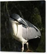 Black Crowned Heron Canvas Print