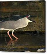 Black Crowned Knight Heron Canvas Print