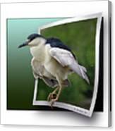 Black Crowned Night Heron Canvas Print