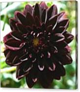 Black Dalia  Canvas Print