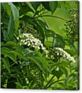 Black Elderberry - Sambucus Nigra_0261black Elderberry - Sambucus Nigra Canvas Print